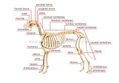 skeleton of a dog
