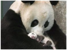Lovely Baby Panda First Time Meet His Mom…
