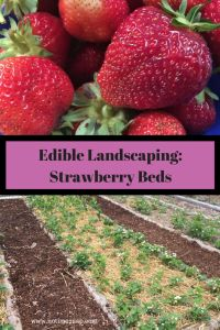 Edible Landscaping: Strawberry Beds This year, will be the third year with my own strawberry beds. In 2016 we put in 4, 16′ x 2′ strawberry beds. Eachbed holds 50 plants. I opted to purchase the plants, and just cut runners, instead of buying less plants and filling in the space with runners. Last year (2017) was our first year having the plants produce. The first year, is the year for the plants to establish themselves. That year I kept... Read More  Read More