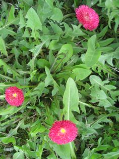 Kaunokaisen ja voikukan yhteiseloa Plants, Plant, Planets