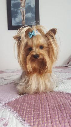 Yorkie puppies are irresistibly cute and have the ability to melt your heart into mush. Learn more about what to expect with your new Yorkshire Terrier puppy. Yorkies, Yorkie Puppy, Cute Dogs And Puppies, Pet Dogs, Pets, Yorkie Terrier, Terrier Dogs, Yorkshire Terrier Haircut, Yorkshire Terrier Puppies