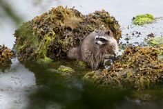 Racoon - Ucluelet - Vancouver Island BC Canada
