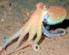 octopus crawling - Google Search
