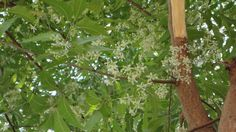 fragrant neem flowers