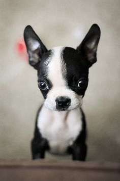 boston terrier cuteness.