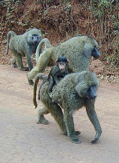 Taken near Ngorongoro Crater, baby baboon hitching a ride