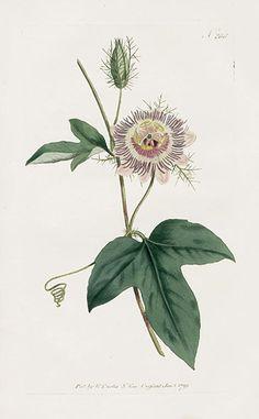 William Curtis Botanical Magazine Antique Prints 1787-1817 Passionflower