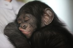Baby chimp hand reared at zoo