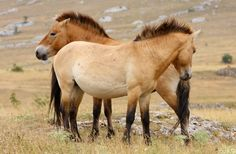 The path out of oblivion for the Przewalski's horse, extinct in the wild just two decades ago, leads to a landscape of deep snow and icy winds.