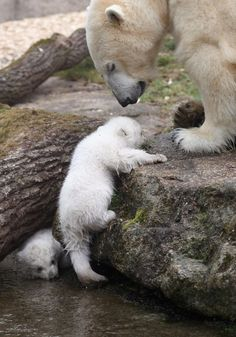 Baby polar bears in Munich – Photos – Baby polar bears make their public debut in Munich – Petra Leona Martínez Burgos - Baby Animals Cute Baby Animals, Animals And Pets, Funny Animals, Mundo Animal, My Animal, Beautiful Creatures, Animals Beautiful, Baby Polar Bears, Photo Animaliere