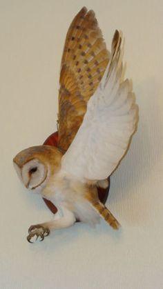 BARN-OWL-tyto-alba-WINGS-OPEN-ON-WALL-WITH-A10-CERTIFICATE