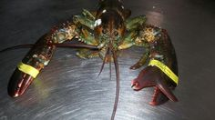 Lobster growing another claw. Maybe researchers will find a way for humans to do this? Why not?! via Good Morning Gloucester