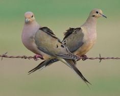 Mourning Dove Nest, Passenger Pigeon, Bird Facts, Bombay, Favorite Christmas Songs, Dove Bird, Spring Birds, How To Attract Birds, A Day In Life
