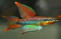 nano tank fish - Aphyosemions bitaeniatum - Google Search