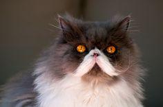 Moustache Cat by nelson Kitteh Kats - cat, cats, kitty, gatto, puss, neko, kitten, katzen, gatti, kat, katze, basically cats