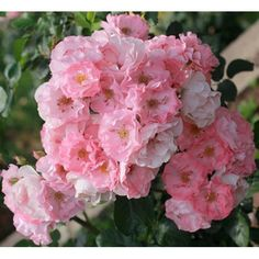 'Jacky's Favorite' * (BE-2009). Trosroos. Rijke, lange, ononderbroken bloei. Enkele tot halfgevulde, lichtroze tot rozerode bloemen (6-7cm) in grote trossen van wel 80 bloemen. Kleurvast en goed regenbestendig. Licht geurend. Kan gebruikt worden als bodembedekker. Zo goed als ziektevrij. 180cm x 250cm. BR