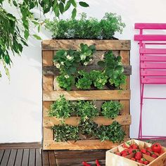 Vertical garden made from galvanised buckets and trelis from hardware store