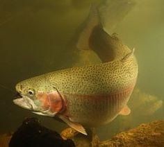Trout...yes... on a fly...