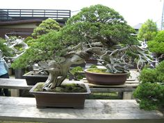 Basically if you do not know someone in the bonsai buisness in japan it is near impossible to visit let alone find Kimuras garden. Description from bonsai-japan.com. I searched for this on bing.com/images