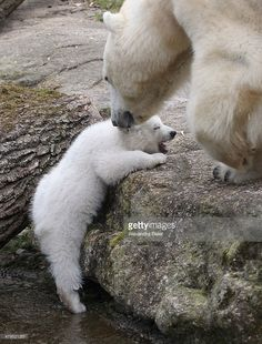 One of the 14 weekold twin polar bear babies is pictured with her... ニュース写真   Getty Images