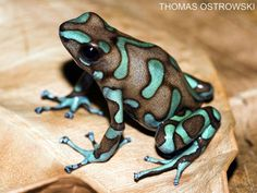 "Strange Animals on - ""Dendrobates auratus frog. Tree Frog Tattoos, Frog Habitat, Animals Beautiful, Cute Animals, Frog Terrarium, Frog Illustration, Frog Drawing, Red Eyed Tree Frog, Frog Pictures"
