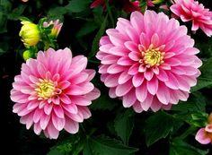 Chị em mê mẩn trồng hoa thược dược nhiều màu đón Tết - Hình 4
