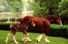 This years Super Bowl commercial has boosted the number of visitors coming to see baby Clydesdales at Warm Springs Ranch.
