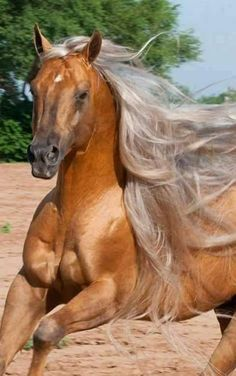 They spliced this horses genes with Fabio. Yet another horse with hair better than I'll ever have. Most Beautiful Horses, All The Pretty Horses, Simply Beautiful, Beautiful Creatures, Animals Beautiful, Cute Animals, Horses And Dogs, Wild Horses, Horse Photos