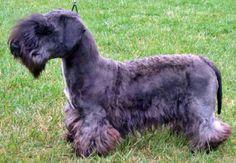 cesky terrier | Cesky terrier é uma raça de cães de companhia muito amigável com ...