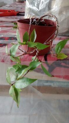 #bonsai #pitanga
