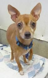 Jack is an adoptable Chihuahua Dog in Aurora, NE. Jack came to us as a surrender when his elderly owner could no longer take care of him. He is 5-7 years old and is a friendly little guy. He's perfe...
