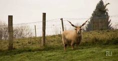 Domaine du Martinaa - Partage : Elevage, Gourmandise & Jardinage: Mouton Racka du Domaine du Martinaa
