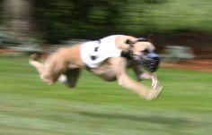 #fly #dog
