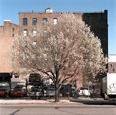 Callery pear tree in spring from New York City of trees, Gardenista