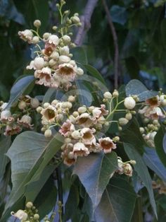 Kurrajong (Brachychiton populneus) is a small to medium sized tree found naturally in Australia in a diversity of habitats from wetter coastal districts to semi-arid interiors of Victoria, New South Wales and Queensland