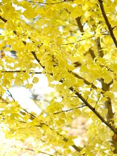 Ginkgo  Slow-growing ginkgo adds grace to the landscape; its fan-shaped leaves are among the most elegant of any tree. In autumn, they show breathtaking shades of luminous, golden-yellow. After the leaves drop, you'll be waiting for next fall.  Name: Ginkgo biloba  Growing Conditions: Sun to shade and moist, well-drained soil  Size: To 100 feet tall  Zones: 4-9