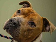 ★❥★ SAFE 03/25/15 ★❥★ Manhattan Center   LEO - A1025942 *** DOH HOLD 1/21/15 ***  MALE, TAN / WHITE, AMERICAN STAFF, 6 yrs OWNER SUR - ONHOLDHERE, HOLD FOR DOH-NHB Reason MOVE2PRIVA  Intake condition EXAM REQ Intake Date 01/21/2015,  https://www.facebook.com/Urgentdeathrowdogs/photos/pb.152876678058553.-2207520000.1421962092./948022525210627/?type=3&theater