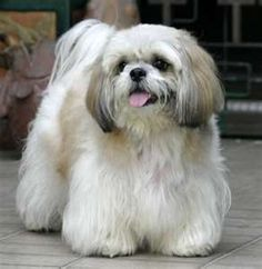 shih tzu.  - This is what Riley would look like if I let his fur grow.