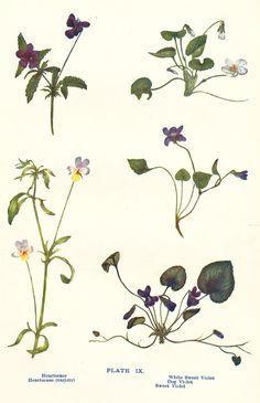 Violet Heartsease Vintage Botanical Print by PeonyandThistlePaper, £6.00