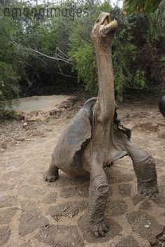 Your big tortoise is a source of pleasure to you. You bought the turtle so you can have more fun with family members and friends. Ugly Animals, Unusual Animals, Rare Animals, Cute Baby Animals, Animals Beautiful, Animals And Pets, Turtle Reptile, Tortoise Turtle, Pictures Of Turtles