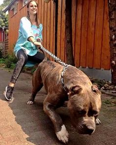 American Bully Daily ⋆ Everything About Pitbull and Bully Dog Breeds Best Dog Breeds, Large Dog Breeds, Best Dogs, Amstaff Terrier, Pitbull Terrier, Dogs Pitbull, Bull Terriers, Huge Dogs, Giant Dogs