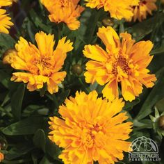Coreopsis grandiflora 'Early Sunrise' common name tickseed, blook early summer into fall, in tall Green Flowers, Green Leaves, Colorful Flowers, Daisy Flowers, Hardy Perennials, Types Of Soil, Planting Seeds, Garden Plants, Shrubs