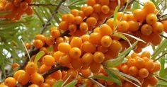 Облепиха – это настоящая домашняя аптека, кладезь витаминов и различных биологически активных веществ, которые содержатся во всех частях этого чудо-растения. Древнегреческая, тибетская, индийская, китайская и монгольская народная медицина почитала это […]