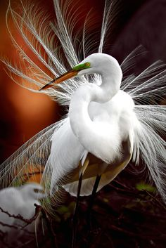 Egret displaying its feathers