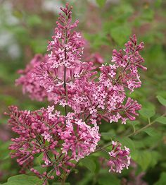 Proven Winners - Bloomerang® 'Pink Perfume' - Reblooming Lilac - Syringa x pink plant details, information and resources. Garden Shrubs, Flowering Shrubs, Trees And Shrubs, Garden Plants, Flower Plants, Outdoor Plants, Flower Beds, Outdoor Rooms, Next Garden