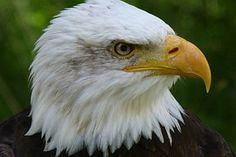 Lintu, Petolintu, Raptor, Bald Eagles