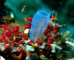 sealife-blue-ascidian.jpg