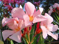 OLEANDER HAUS  Nerium Oleander Gotsis Aris Rose Bay, Nerium, Sweet, Flowers, Plants, Gardening, House, Floral, Plant