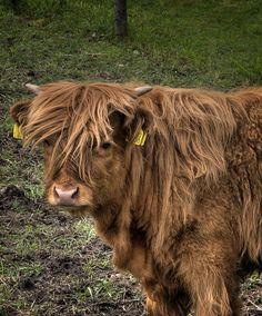 Hipster Norwegian cow.