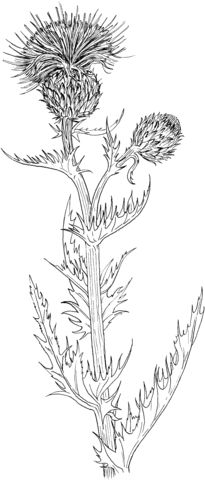 wavyleaf thistle or gray thistle coloring page